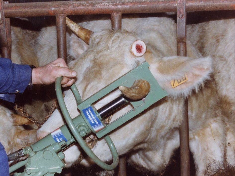 Ecorneur à bovins branchement tracteur